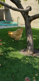 Yup a chicken under the peach tree