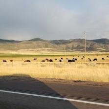 beautiful scene with cattle in field